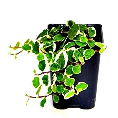 Ficus Pumila - Trailing Ficus