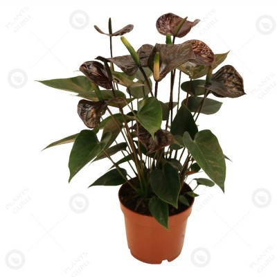 Anthurium Black - Flamingo Flower, Laceleaf, Tailflower Plant