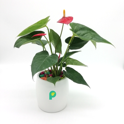 Anthurium Red Plant in White Ceramic Cylindrical Planter