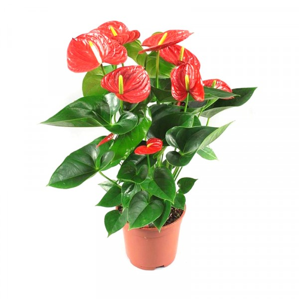 Anthurium Red Plant- Flamingo Flower, Laceleaf, Tailflower Plant