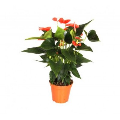 Anthurium Orange - Flamingo Flower, Laceleaf, Tailflower Plant