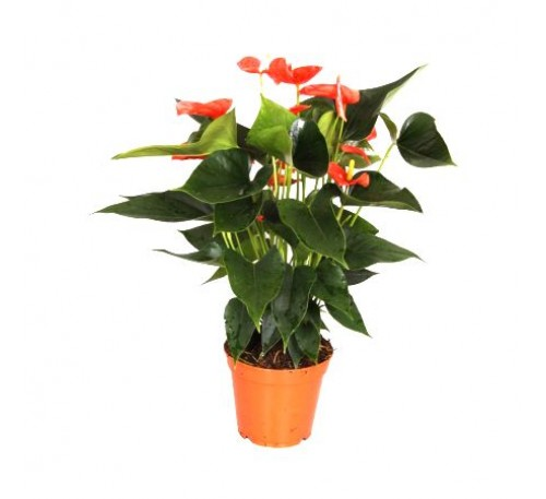 Anthurium Orange - Flamingo Flower, Laceleaf, Tailflower Plant