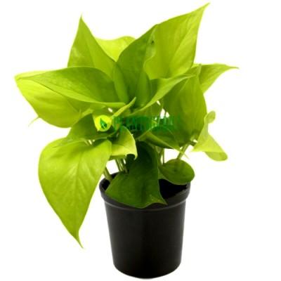 Money Plant Golden in Grey Ceramic Pot