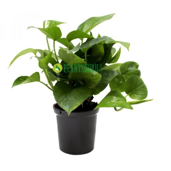 Money Plant Green in Grey Ceramic Pot
