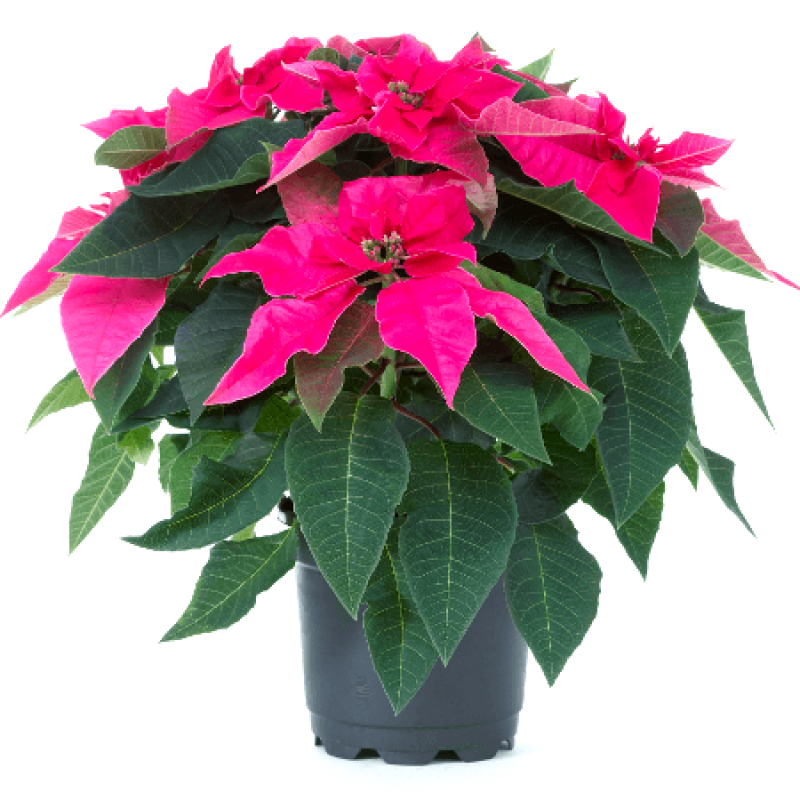 Poinsettia Pink Christmas Flower Plant Buy Online At Plantsguru Com