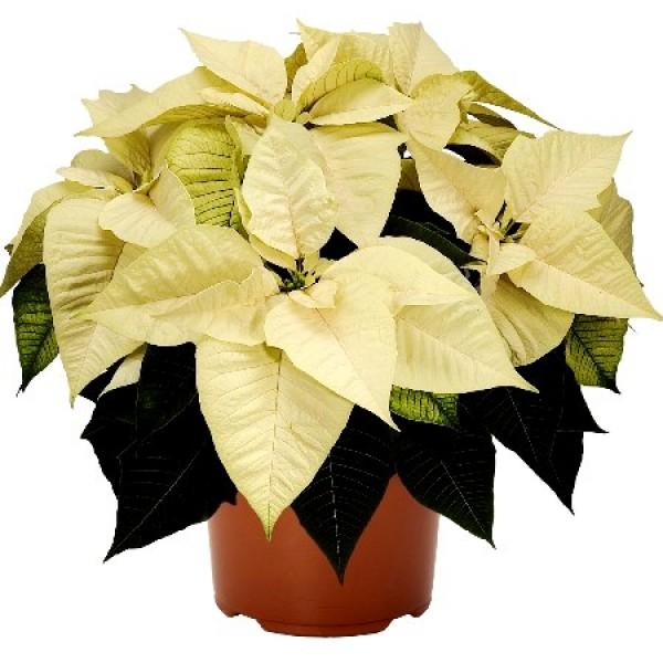 Poinsettia White Plant