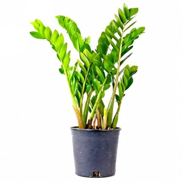 Zamia furfuracea Plant