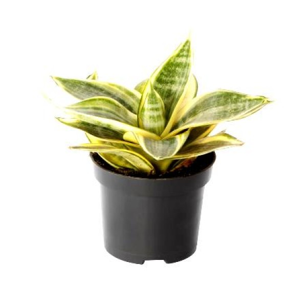 Sansevieria Golden Small, Snake Plant - Mother in Law Tongue Plant