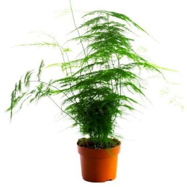 Asparagus Plumosus Plant