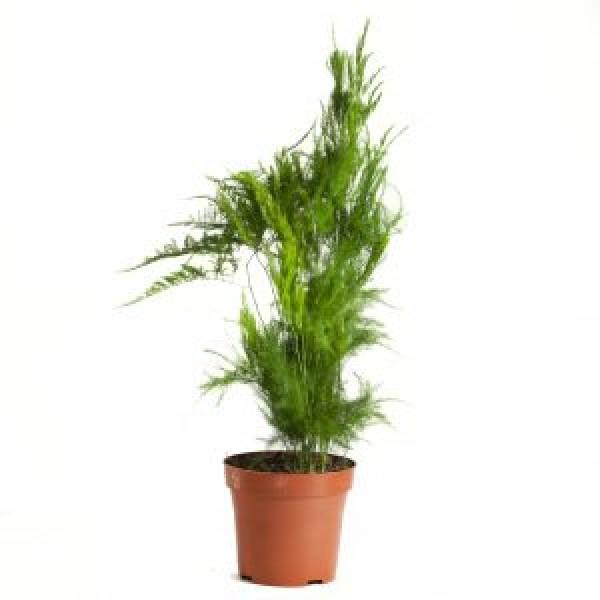 Asparagus Pyramidus Plant