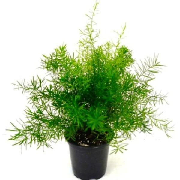 Asparagus Springery Plant - Asparagus Densiflorus