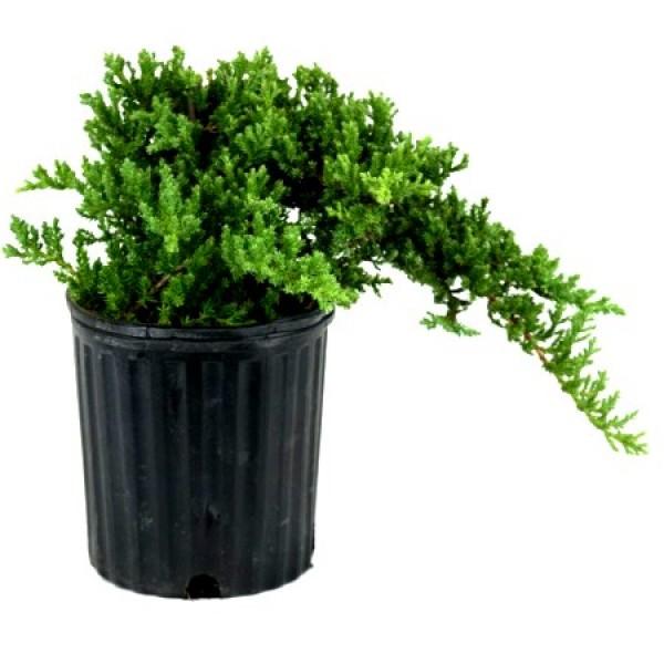 Juniper Plant - Juniperus Communis