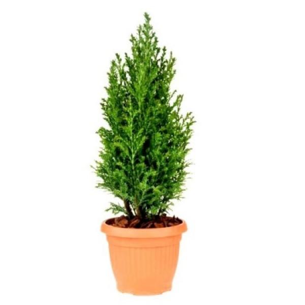 Juniper Plant - Juniperus Pyramidus