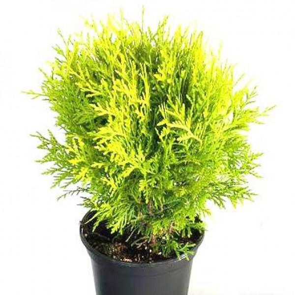 Morpankhi Plant - Thuja occidentalis, Mayurpankhi
