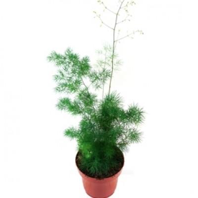 Asparagus Myriocladus Plant