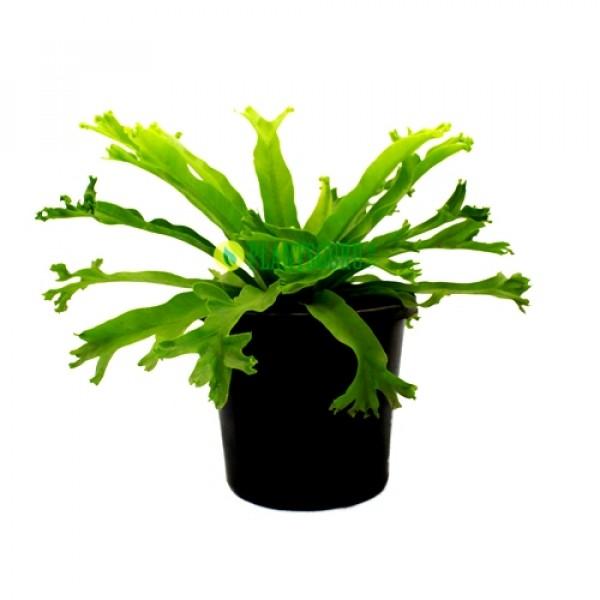 Asplenium Crisie - Asplenium Nidus, Bird Nest Fern Plant