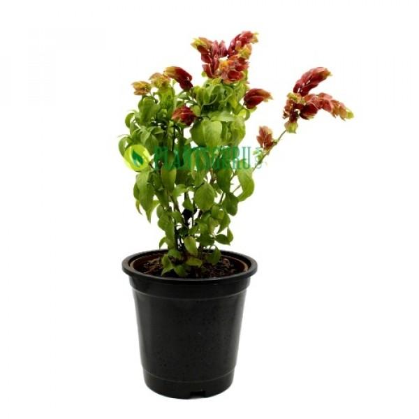 Beloperone Guttata Red - Belapuarana, Justicia brandegeeana, Mexican shrimp plant