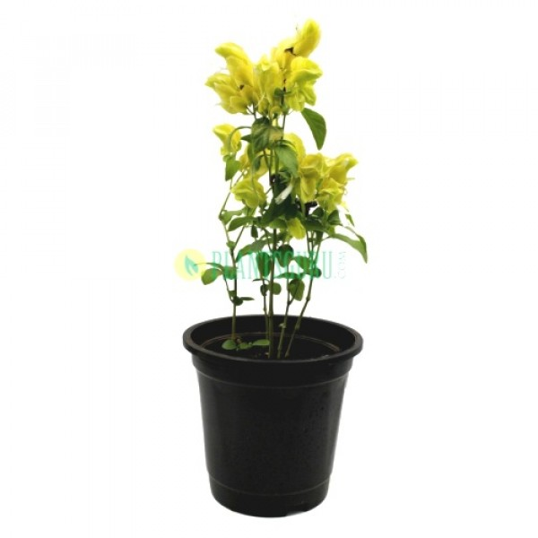 Beloperone Guttata Yellow - Belapuarana, Justicia brandegeeana, Mexican shrimp plant