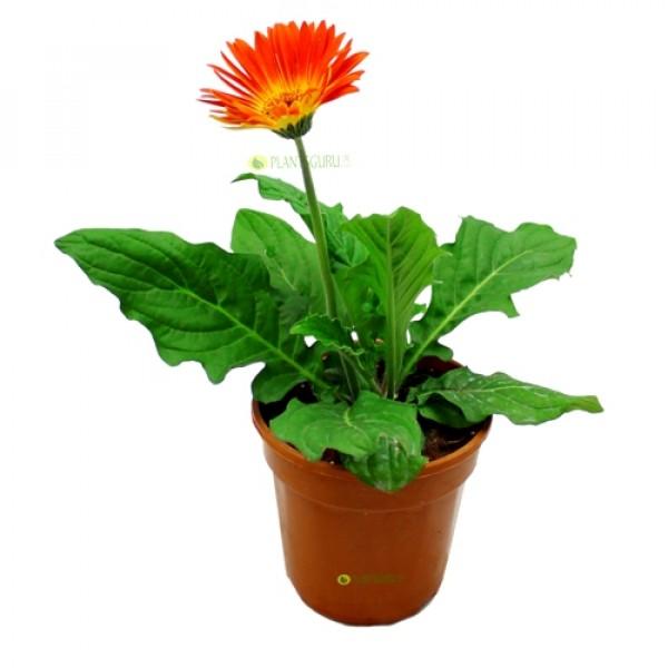 Gerbera Orange Plant - African Daisy