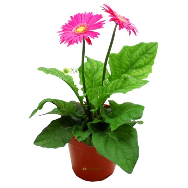 Gerbera Pink Plant - African Daisy