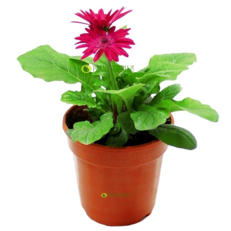 Gerbera Rani Plant Online India At