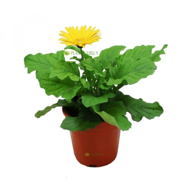 Gerbera Yellow Plant - African Daisy