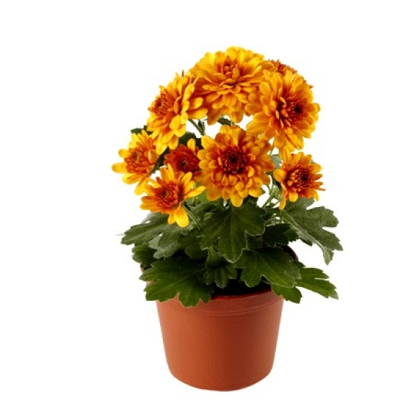 Shevanti Orange - Chrysanthemum Plant
