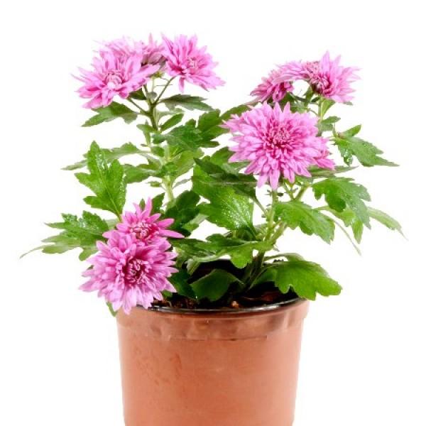 Shevanti Pink - Chrysanthemum Plant