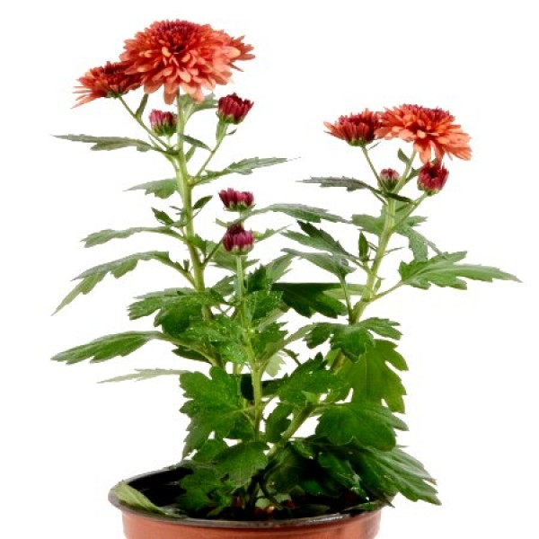 Shevanti Red - Chrysanthemum Plant