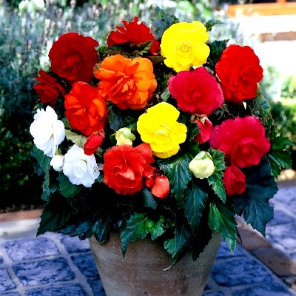 Begonia Bulbs - Begonia Mix Tubers (Pack of 3 Bulbs)