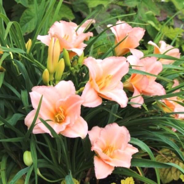 Daylily Bulbs, Hemerocallis Bulb (Pink, 3 Bulb)