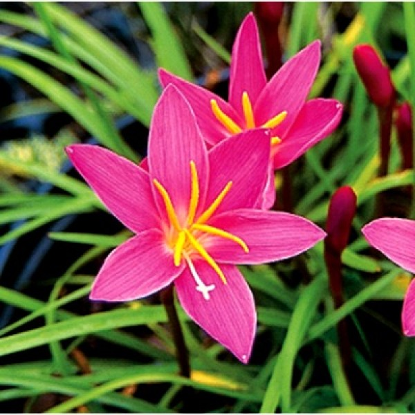 Zephyranthes Bulbs (Pink, 6 Bulb) - Rain Lily Bulbs