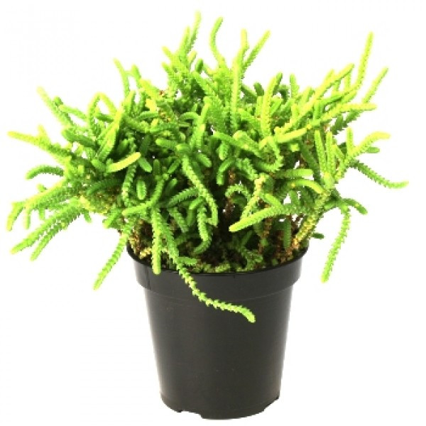Crassula Princess Pine - Crassula Muscosa, Watch Chain Succulent