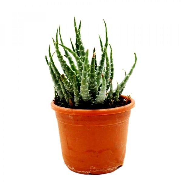 Aloe Humilis Succulent Plant