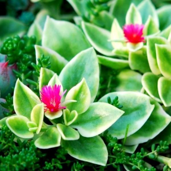 Aptenia Cordifolia Variegata - Baby Sun Rose Plant