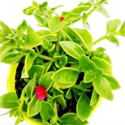 Aptenia Cordifolia Green - Baby Sun Rose Plant