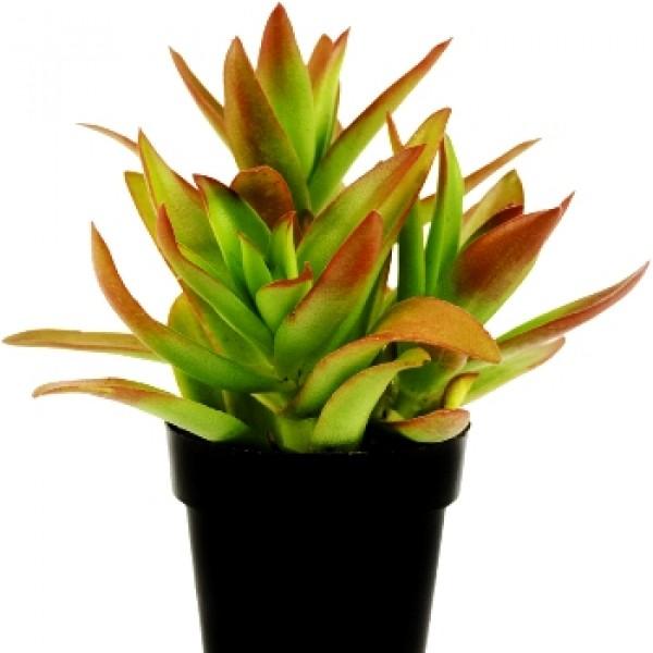Crassula Campfire Succulent Plant
