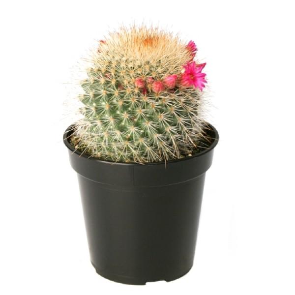 Mammillaria Spinosissima - Cactus Plant