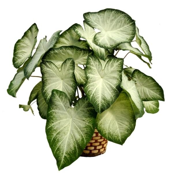 Caladium White Plant