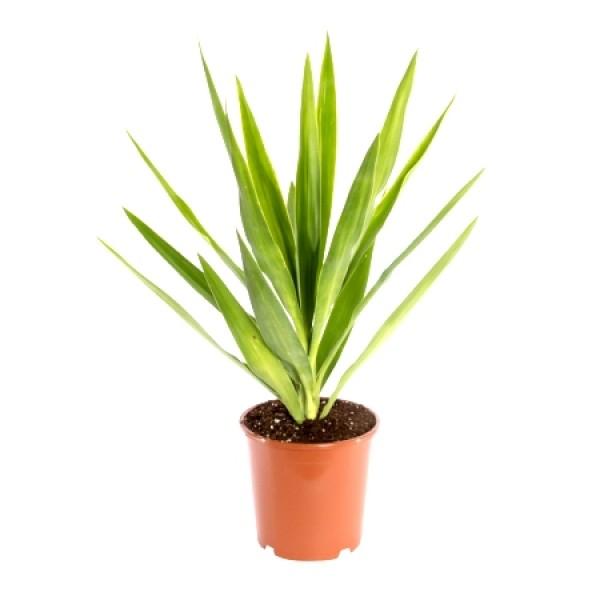 Cordyline Kasper Plant