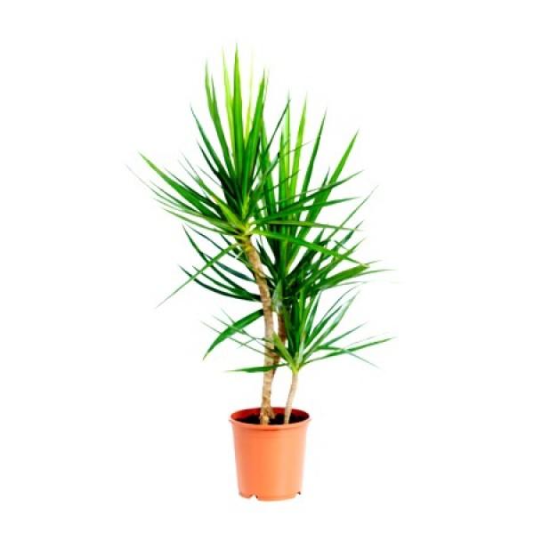 Dracaena Bicolor - Dracaena Marginata Plant