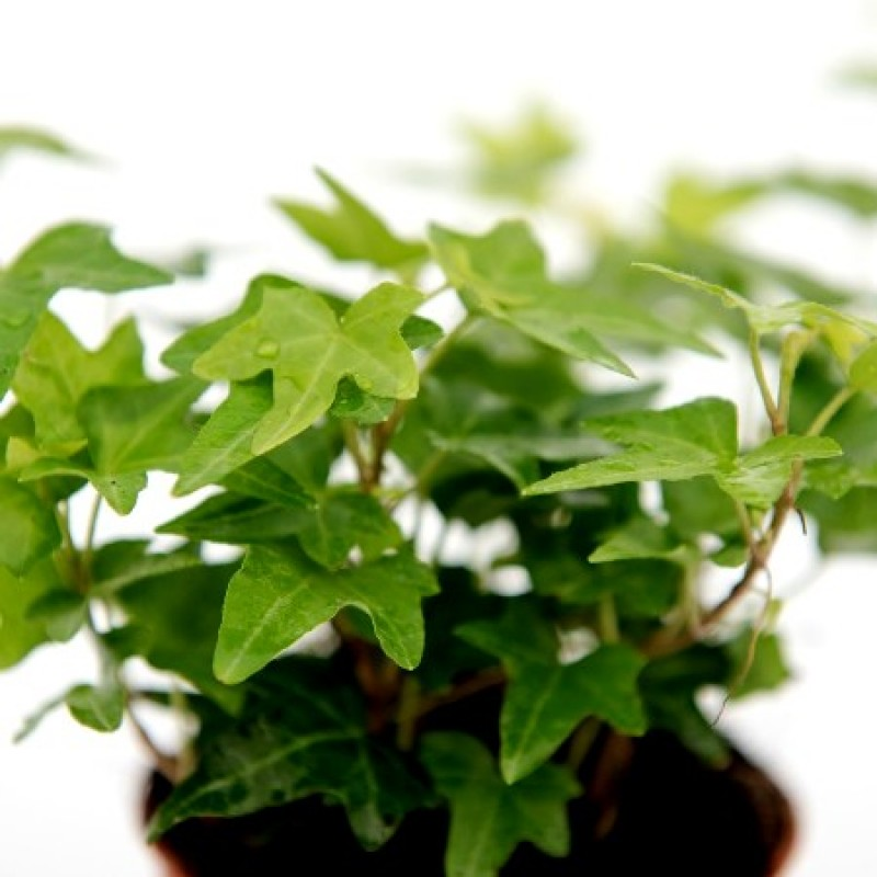 Buy English Ivy Green Plant Online At Cheap Price