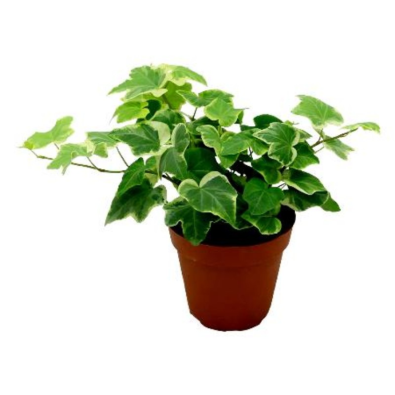 Buy English Ivy Variegated Plant Online At Cheap Price On Plantsguru Com