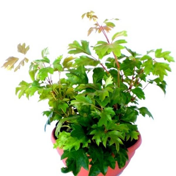 Grape Ivy Plant - Oak Leave Ivy