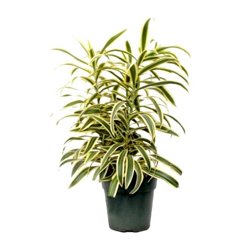 Buy Dracaena Star Song Of India Plant Online At