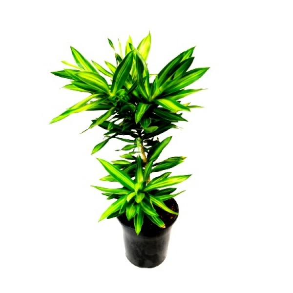 Dracaena Reflexa - Song of India Green