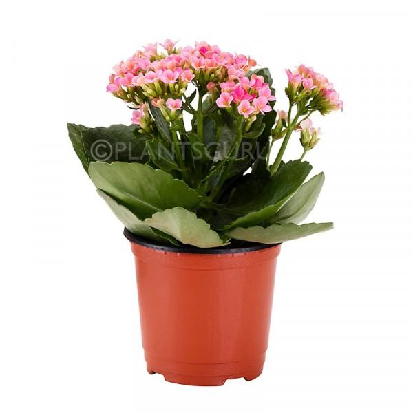 Calanchchu Pink - Kalanchoe Plant