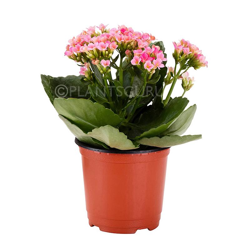 Buy Calanchchu Pink Kalanchoe Plant Online India At Plantsguru Com