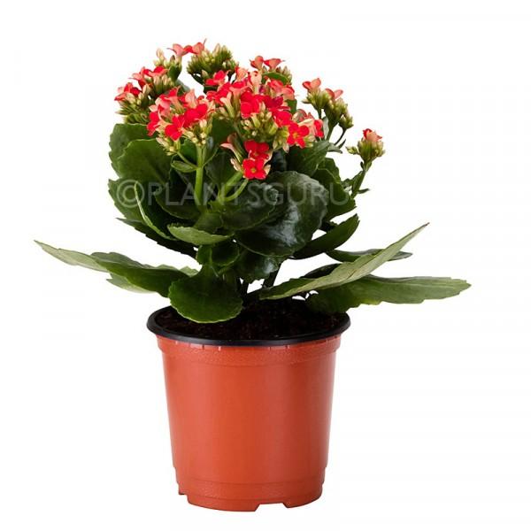 Calanchchu Red - Kalanchoe Plant