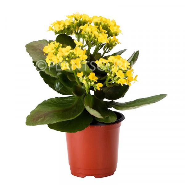 Calanchchu Yellow - Kalanchoe Plant
